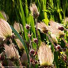 Wildflowers (Prairie Smoke) by rocamiadesign