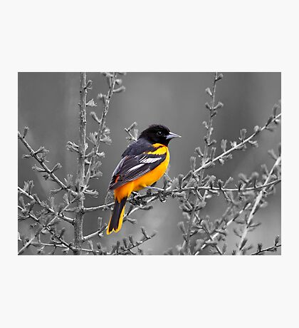 Baltimore Oriole Selective Coloring Photographic Print