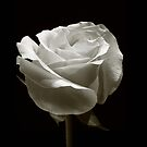 Perfect Rose by Jack DiMaio