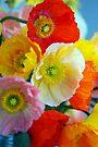 Bright Poppies by Extraordinary Light