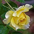 Yellow rose Leith Park 20180417 2481  by Fred Mitchell