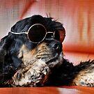 Hund - American Cocker von laura-S