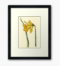 Daffodil Flower Botanical Framed Print