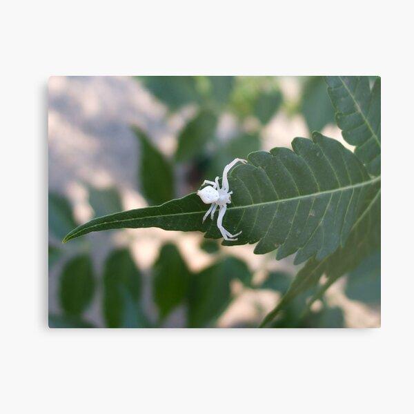 Albino Spider Metal Print