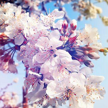 Flores de cereza de psychoshadow