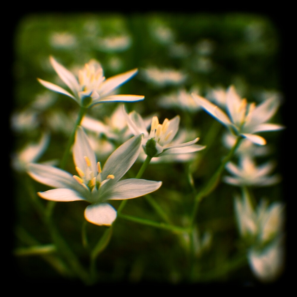 star of david flowers by Adam Graham