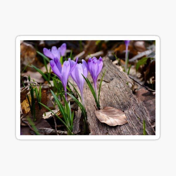purple crocus flowers among the weathered foliage Sticker