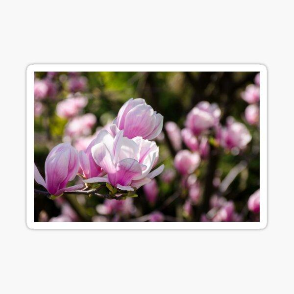 gorgeous magnolia flowers on a dark background Sticker