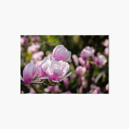 gorgeous magnolia flowers on a dark background Art Board Print