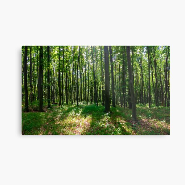 dense beech forest with tall trees Metal Print