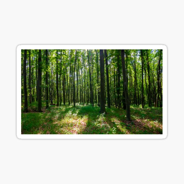 dense beech forest with tall trees Sticker