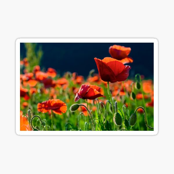 big red blossoming poppy flower in the field Sticker