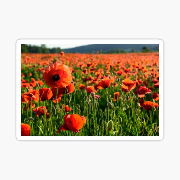 big red poppy flower on the field in mountains Sticker