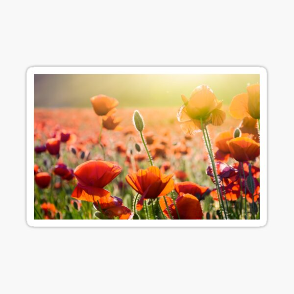 poppy flowers on the field in sunlight Sticker