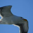 Western Gull by blew12bandit