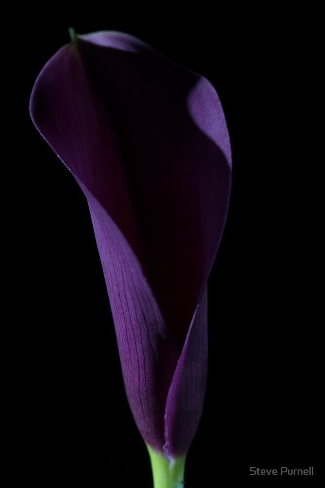 The Calla Purple 3 by Steve Purnell