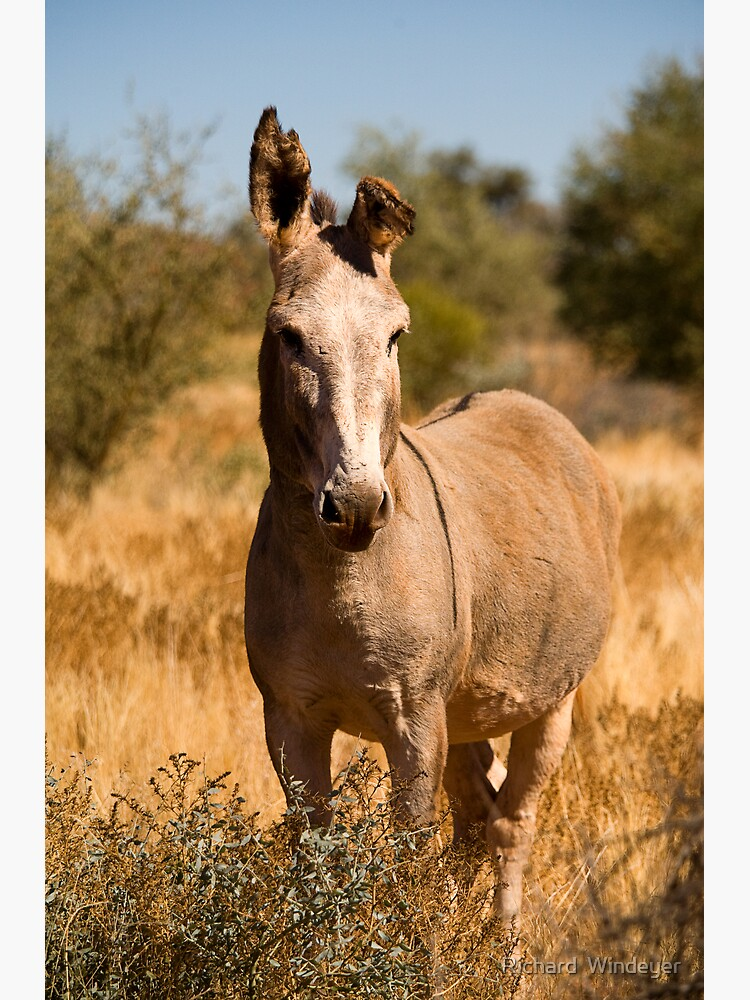 Wild Donkey by RICHARDW