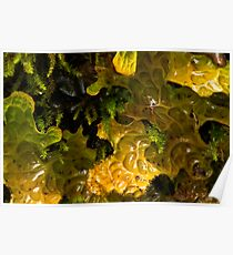 Lungwort After The Rain Poster
