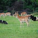 The Deer Park Movie, at Ripley Castle. by dougie1