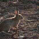 Rabbit Backlit by Sun by kernuak