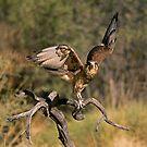 Raptor by Richard  Windeyer