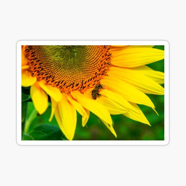 bees gathering pollen of the sunflower Sticker