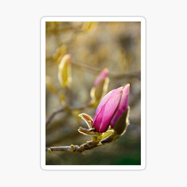purple flowers of magnolia tree blossom Sticker
