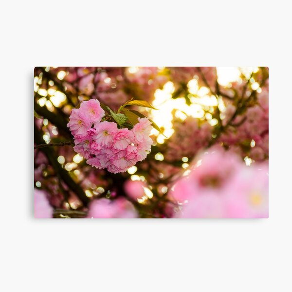 closeup of cherry blossom flowers Canvas Print
