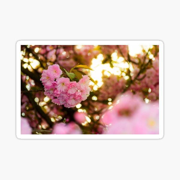 closeup of cherry blossom flowers Sticker