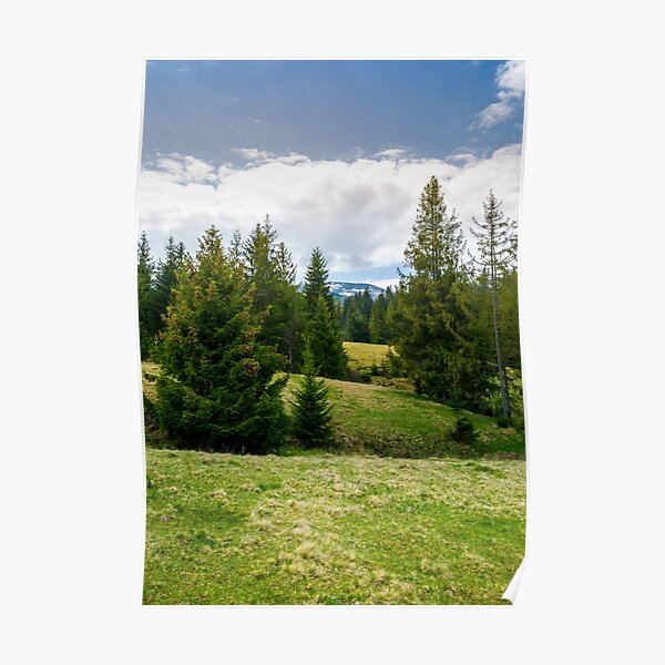 spruce forest on rolling hills Poster