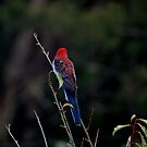 crimson rosella by Pollypocket