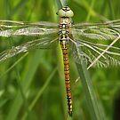 Freshly emerged Aeshna affinis 10/06/18 by DragonflyHunter