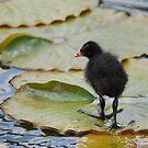 Moorhen Chick by dougie1