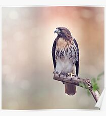 Red-tailed hawk (Buteo jamaicensis) sitting on a branch Poster