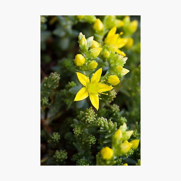 Biting Stonecrop (Sedum acre) Photographic Print