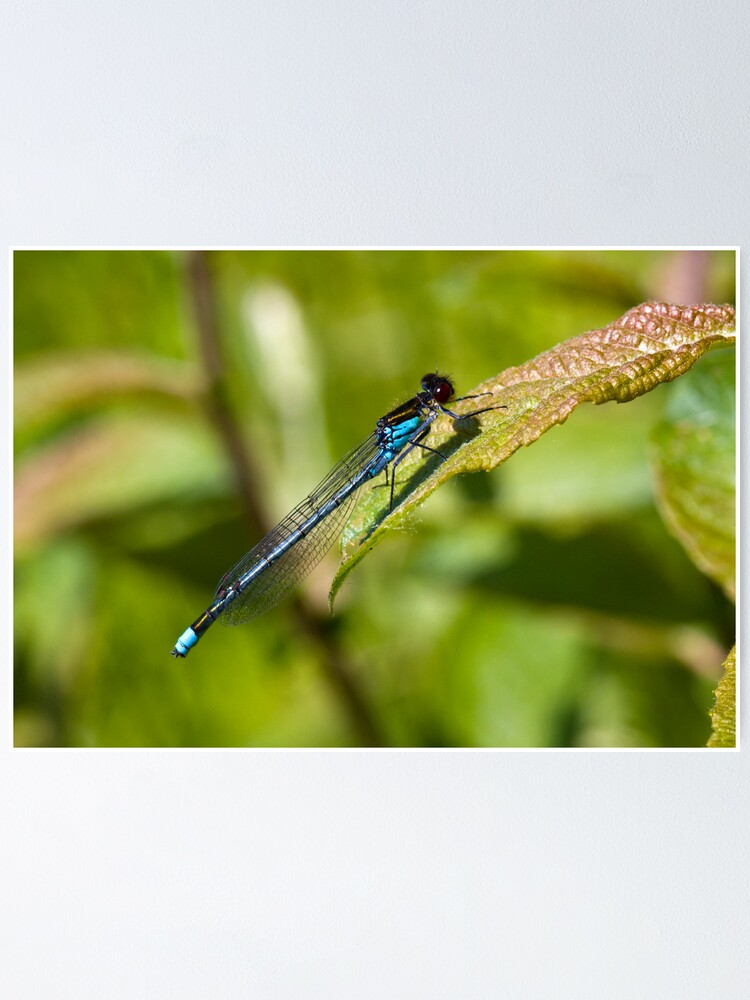Alternate view of Red-eyed Damselfly (Erythromma najas) Poster