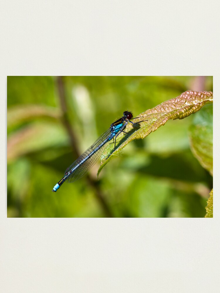 Alternate view of Red-eyed Damselfly (Erythromma najas) Photographic Print