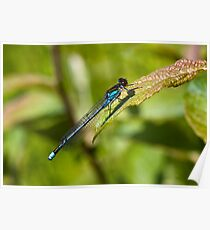 Red-eyed Damselfly (Erythromma najas) Poster