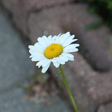 The Lonely Daisy by Stace420