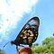 Flutterbies of Queensland