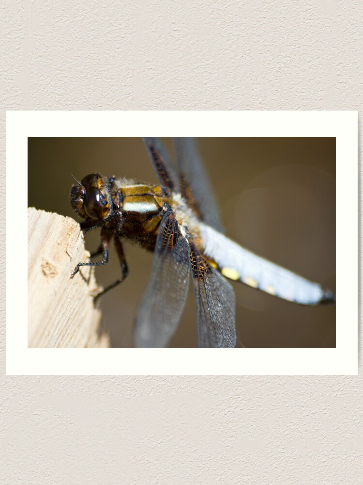 Alternate view of Broad-bodied Chaser (Libellula depressa) Art Print