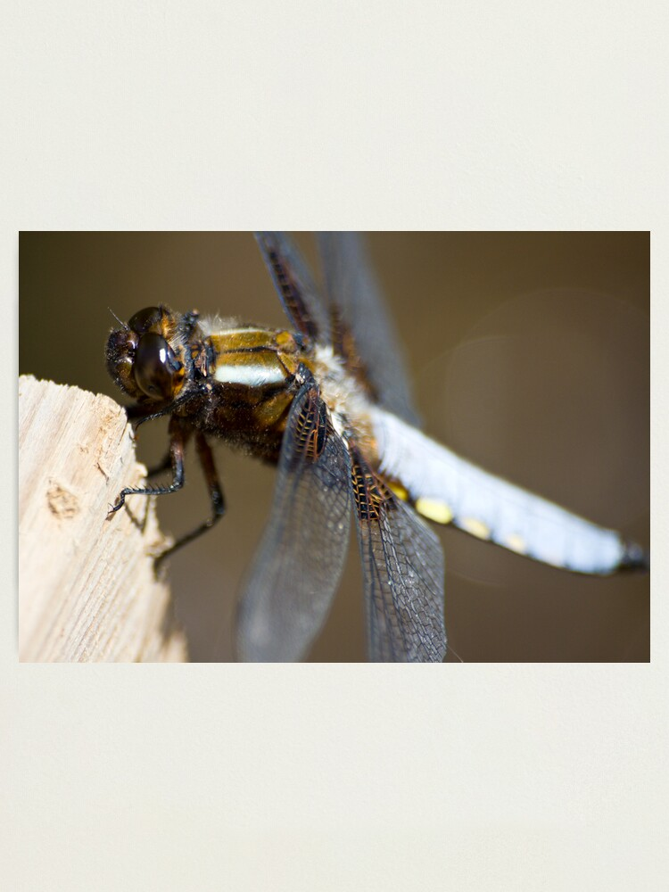 Alternate view of Broad-bodied Chaser (Libellula depressa) Photographic Print