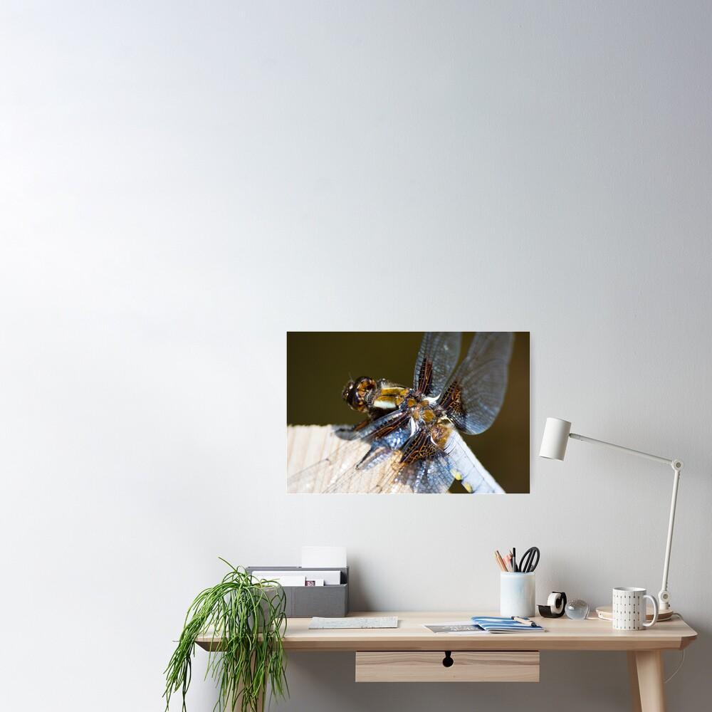 Broad-bodied Chaser (Libellula depressa) Poster