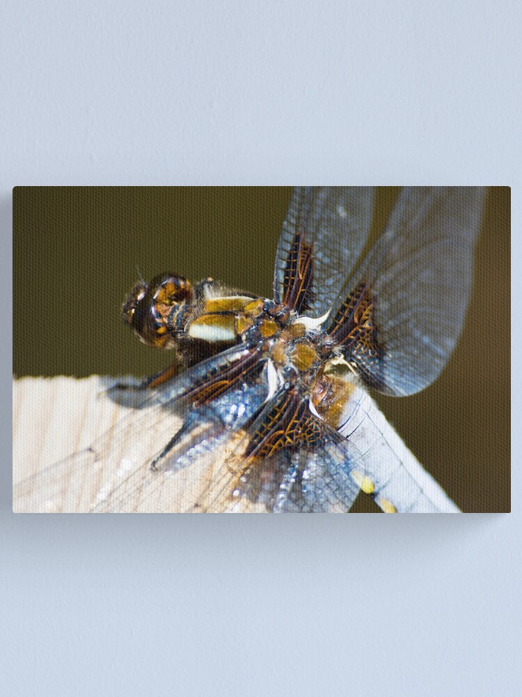Alternate view of Broad-bodied Chaser (Libellula depressa) Canvas Print