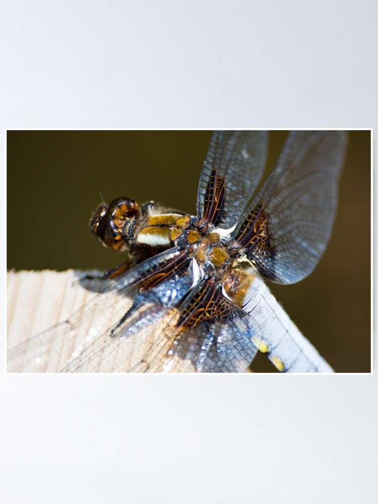 Alternate view of Broad-bodied Chaser (Libellula depressa) Poster