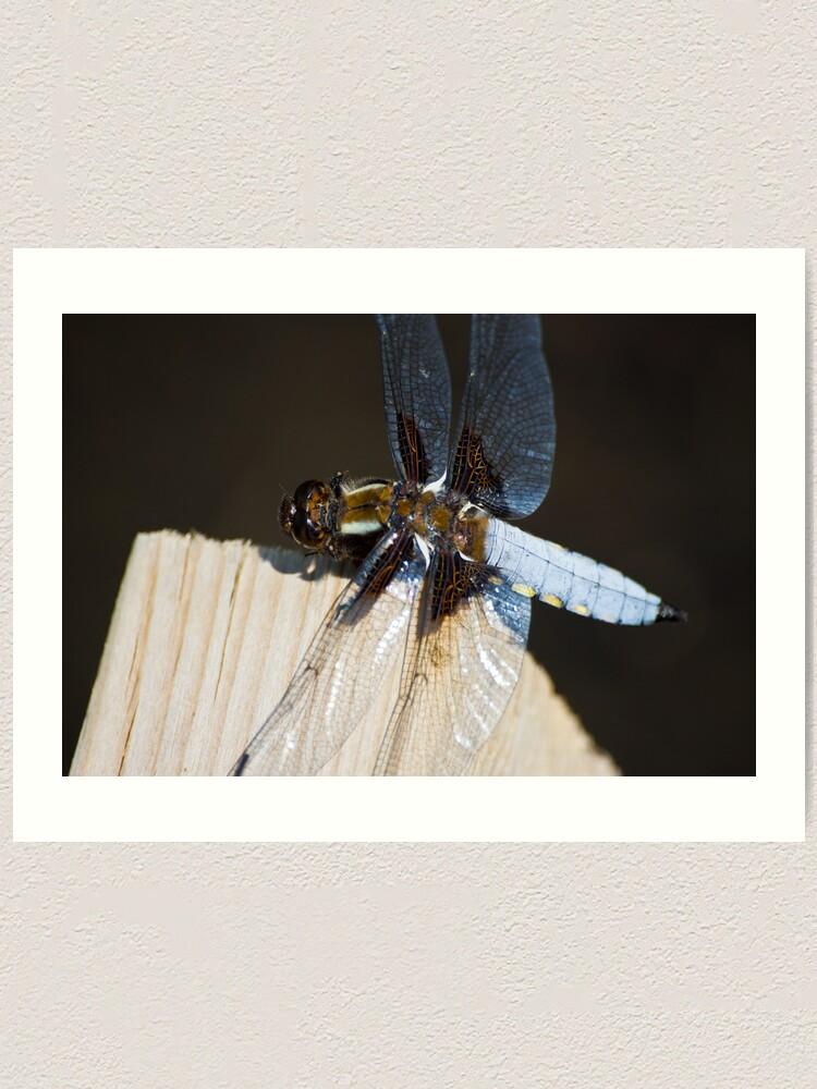 Alternate view of Broad-bodied Chaser (Libellula depressa) Art Print