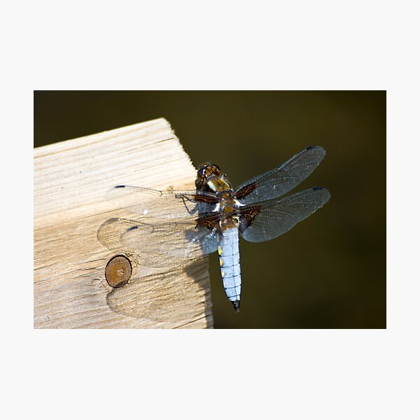 Broad-bodied Chaser (Libellula depressa) Photographic Print