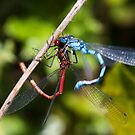 Confused Damselflies by Steve Chilton
