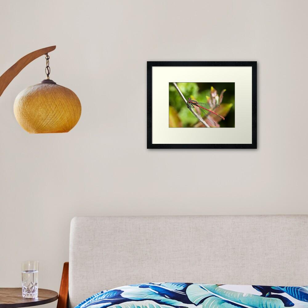 Large Red Damselfly (Pyrrhosoma nymphula) Framed Art Print