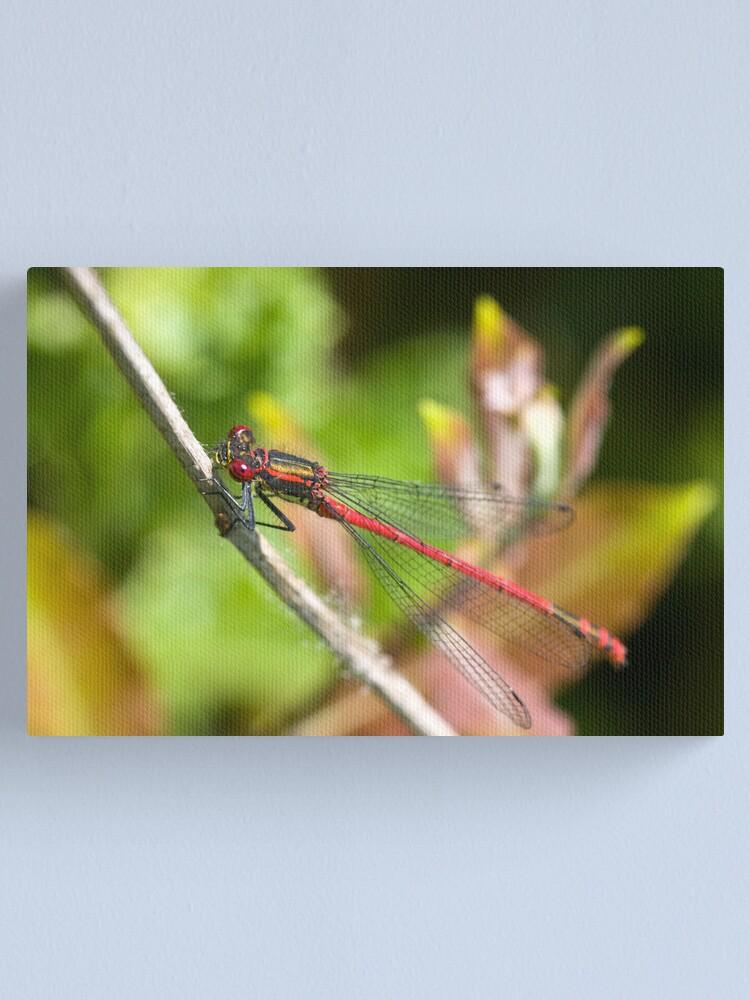 Alternate view of Large Red Damselfly (Pyrrhosoma nymphula) Canvas Print